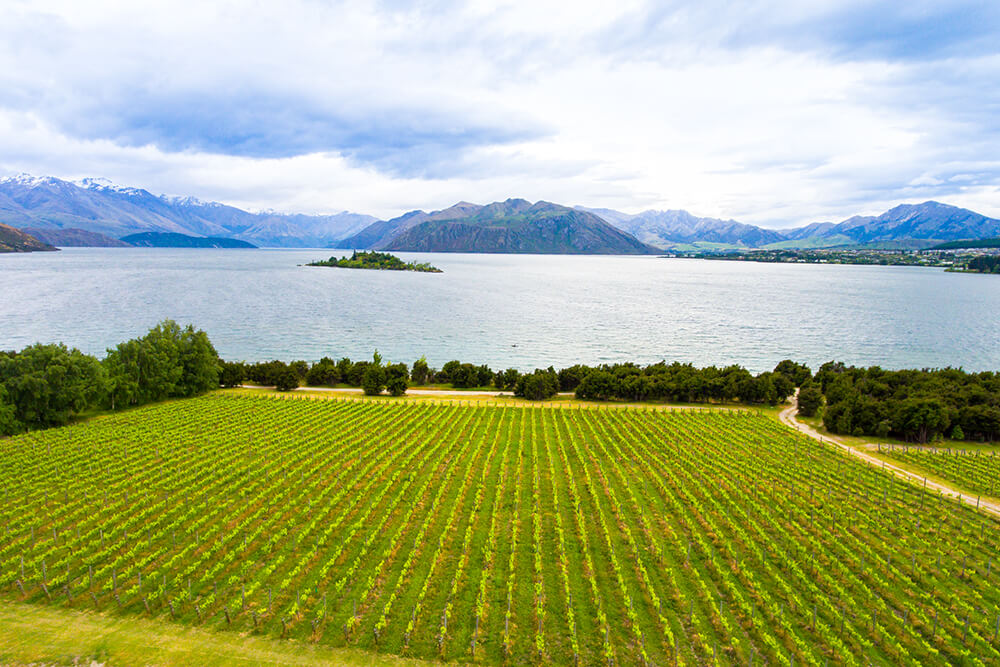 Vineyard at Lake Wanaka